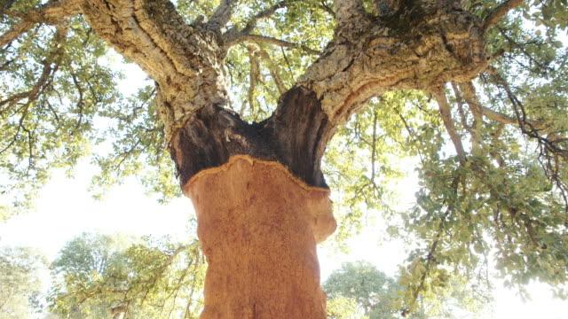 cork oak forest without cork