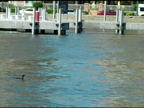 Cormorant and Dolphin at Pier video