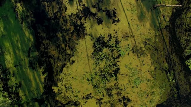 cormorant fly above the overgrown pond Overgrown landscape of swamp water, aerial view of overgrown pond 4K, 4K aerial view of Cormorants on trees duckweed stock videos & royalty-free footage