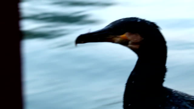 kormoran in den li river - provinz guangxi stock-videos und b-roll-filmmaterial