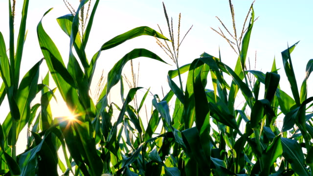 Corn Across Sunset video