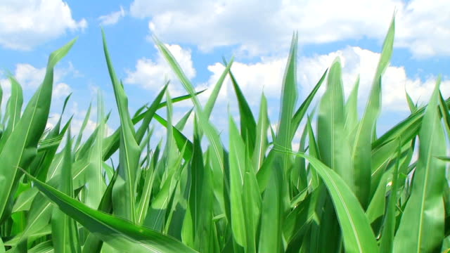 Corn Against Sky video