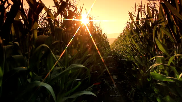 Corn farm. video