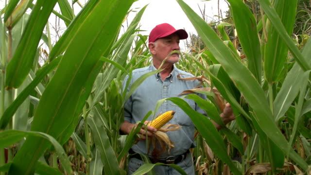Corn farmer walking through his field towards camera