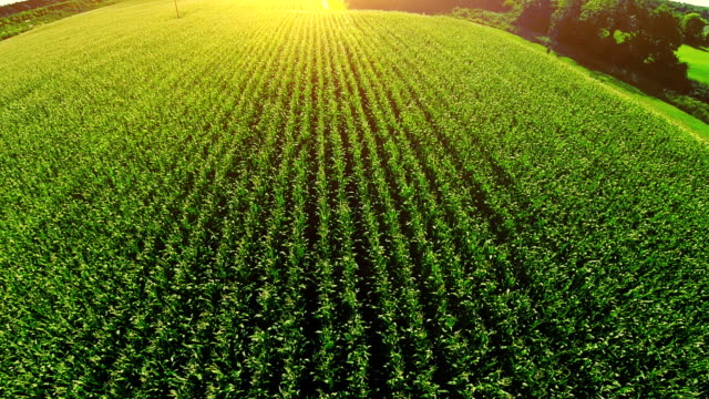 corn field aerial video