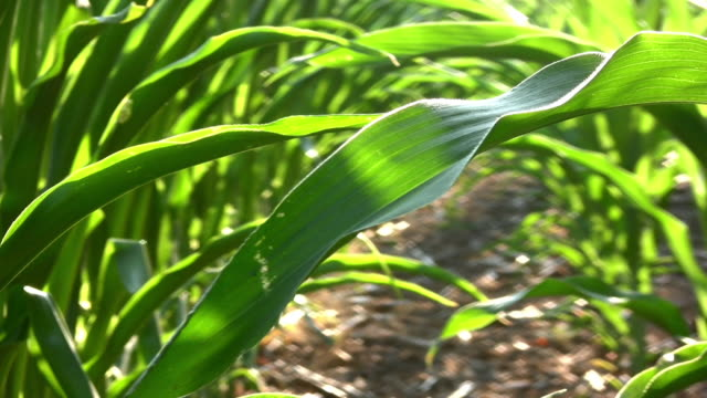 Corn Field. Agriculture. video