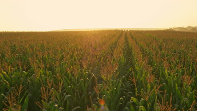 AERIAL Corn field at sunrise video