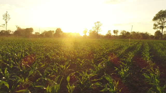 corn field at sunset. agriculture - risorse sostenibili video stock e b–roll