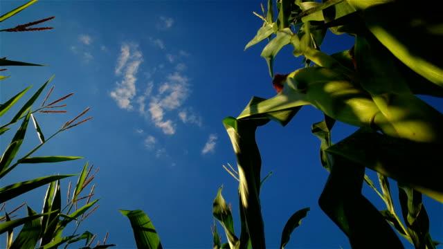 corn field in a rural landscape - stelo video stock e b–roll