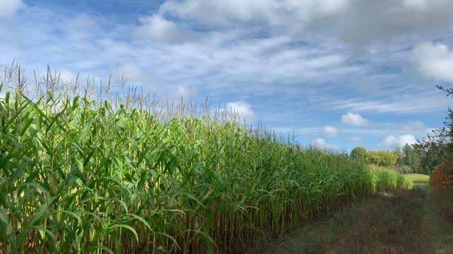 corn field in autumn - kukurydza zea filmów i materiałów b-roll
