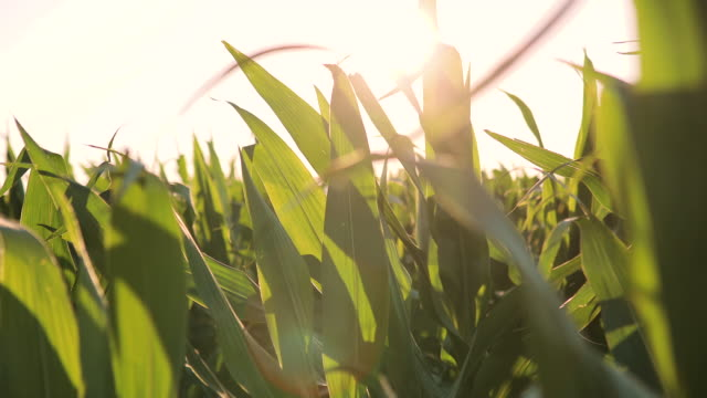 corn field in clear summer day. Farmer's field of young hybrid corn,  Agriculture, harvest and farm concept. Growing corn video