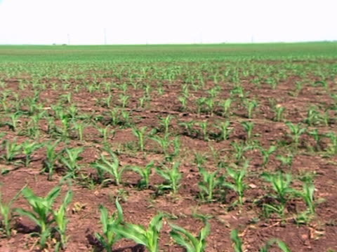 Corn Field in Spring Plants of young corn on the filed in spring monoculture stock videos & royalty-free footage