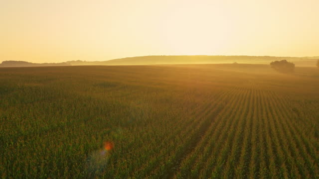 AERIAL Corn field in the sunrise video