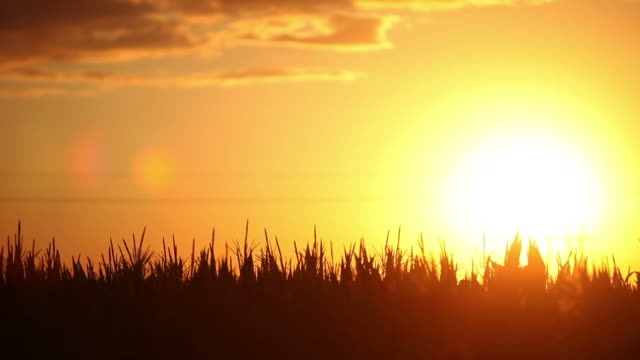 Corn field in the sunset video