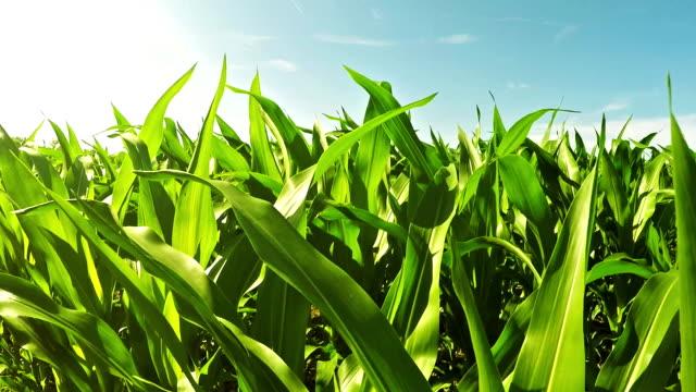 кукурузное поле - биотопливо стоковые видео и кадры b-roll