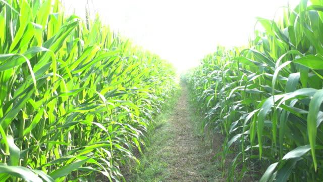 vidéos et rushes de champ de maïs - maïs culture