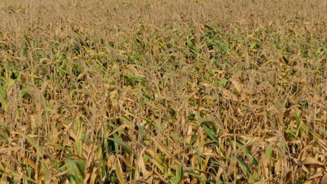 majsfält skadades av torka - gröda bildbanksvideor och videomaterial från bakom kulisserna