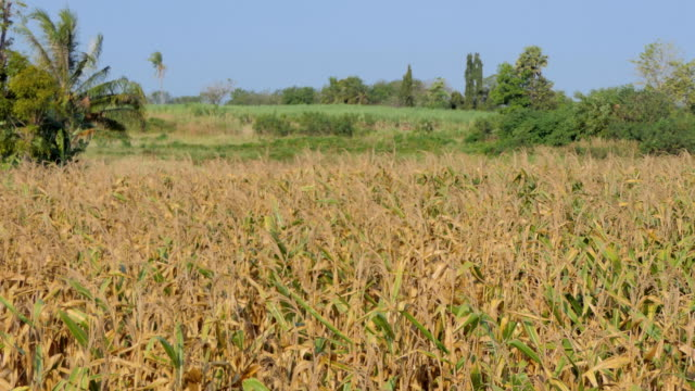 Corn field was damaged by drought video