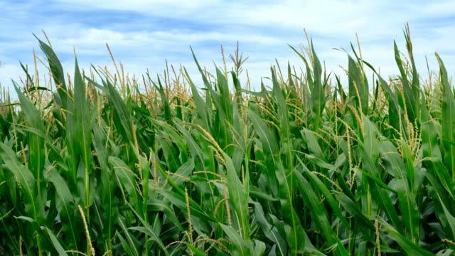 vídeos de stock e filmes b-roll de corn field with corn plants moving in the wind - corn
