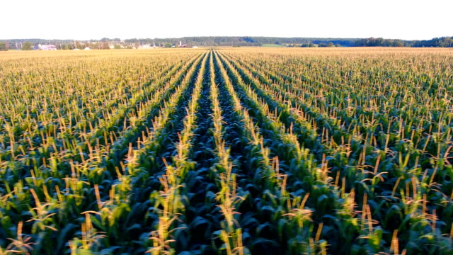 Corn fields of the midwest agriculture video