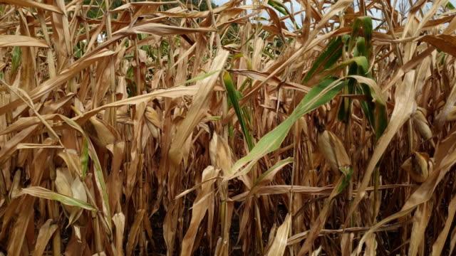 vidéos et rushes de des champs de maïs. - canicule