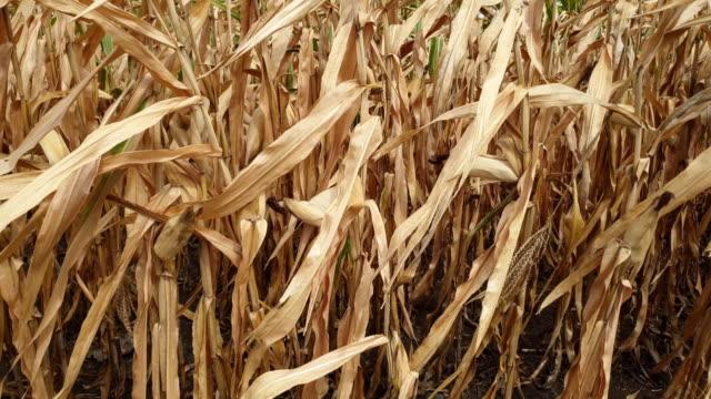 corn fields. - suchy filmów i materiałów b-roll