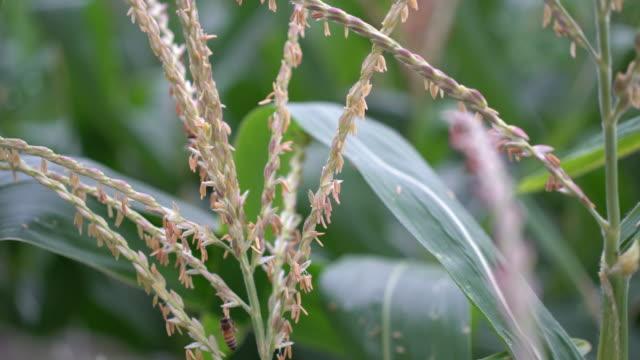 Corn flower video