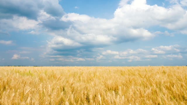 Corn Gold Wheat Field And Blue Sky With Clouds video