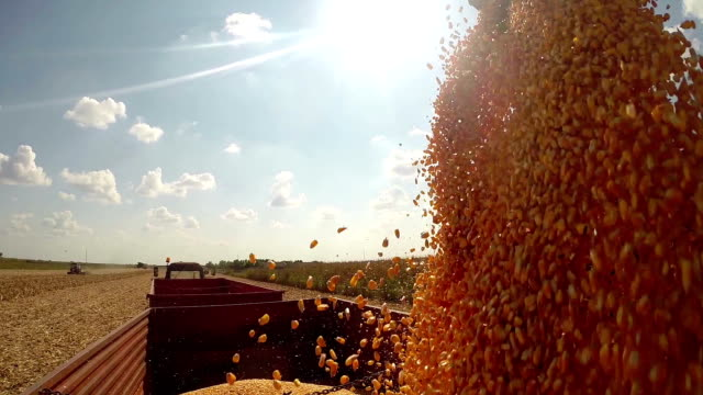 Corn Grains Dumping From Combine Harvester to Tractor Trailer video