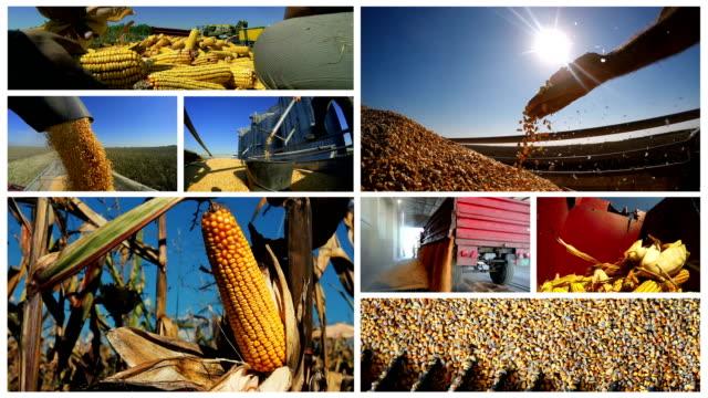 vidéos et rushes de culture de maïs et récolte multi-écrans - maïs culture