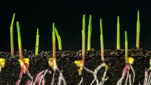 vidéos et rushes de le maïs pousse et de la terre en arrière-plan noir, time lapse vidéo clip de résolution 4k. - maïs culture