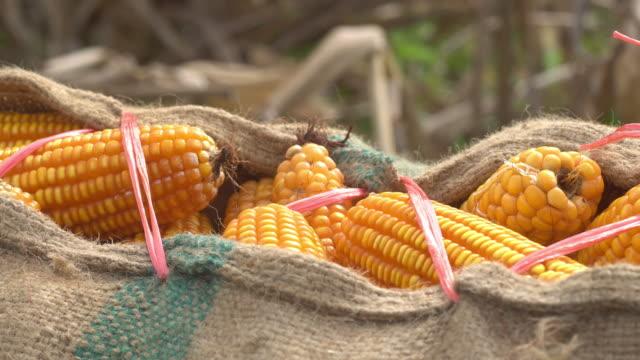 Corn harvest video