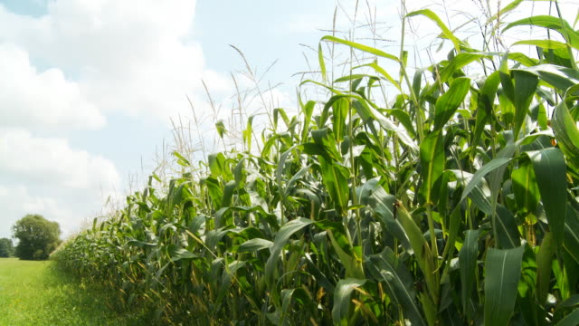 HD DOLLY: Corn In Spring And Autumn video