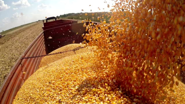 Corn Kernels Fall Into a Tractor Trailer for Transport to the Grain Silos video