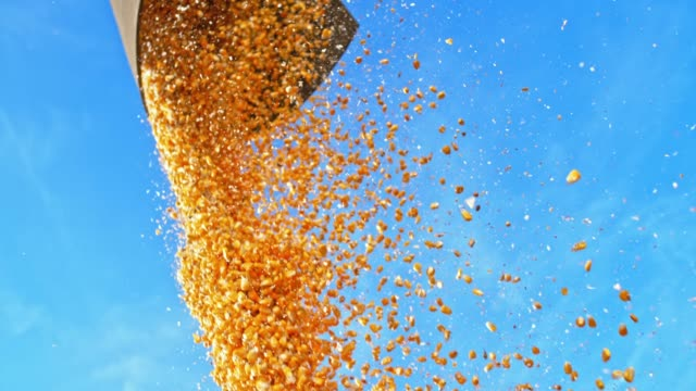 SLO MO Corn kernels falling from the combine into trailer