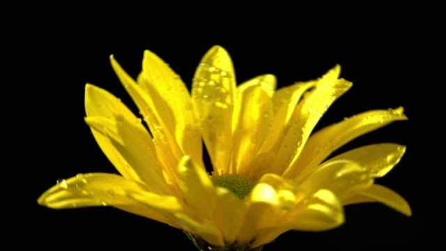 Corn marigold flower in beautiful light with water drops video