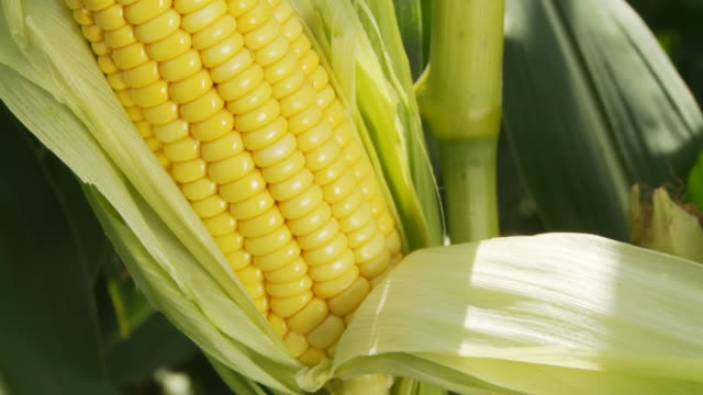 HD: Corn On The Cob video