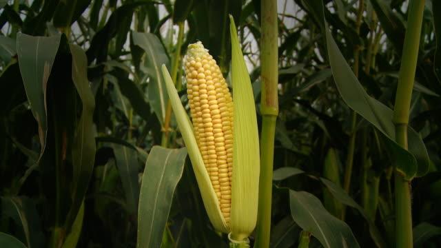 HD DOLLY: Corn On The Cob