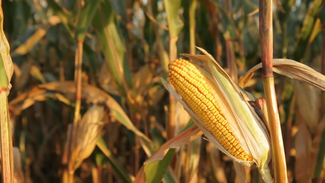 HD DOLLY: Corn On The Cob video