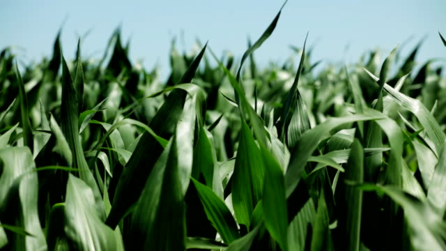 Corn on wind HD 1080 static: corn field; corn crops shaking on wind; zoom out;  monoculture stock videos & royalty-free footage