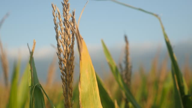 Corn plant tassel in a summer cornfield video