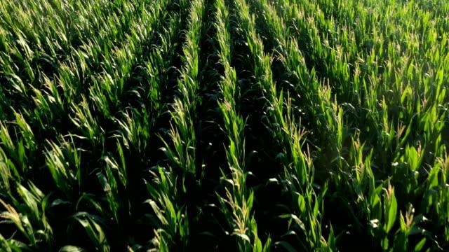 Corn plantations