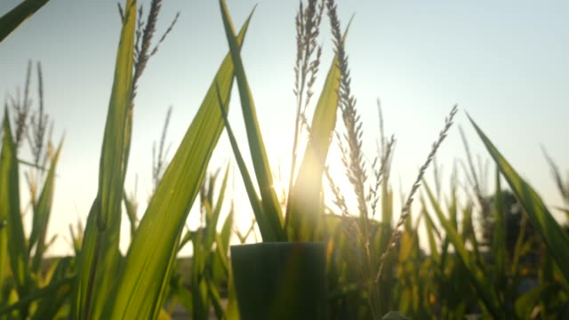 Corn plants in a summer cornfield video