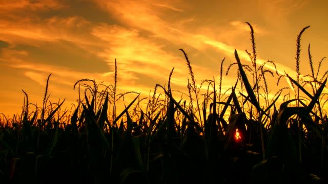 t/l kukurydza roślin w zmierzch - kukurydza zea filmów i materiałów b-roll