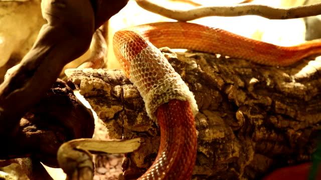 vídeos y material grabado en eventos de stock de serpiente de maíz vertimiento piel - serpiente