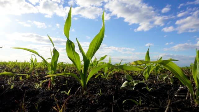 corn sprout at field swaying on the wind - kukurydza zea filmów i materiałów b-roll