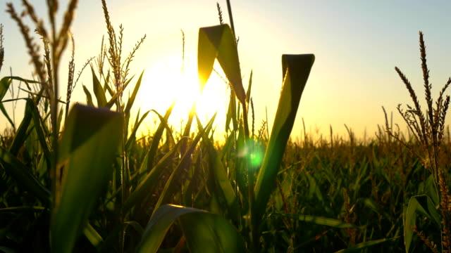 vidéos et rushes de tiges de maïs au coucher du soleil au soleil - maïs culture