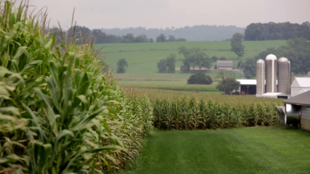 Corn stalks, silos and rolling hills Corn field, farm, silos and rolling hills in Pennsylvania, rack focus barns stock videos & royalty-free footage