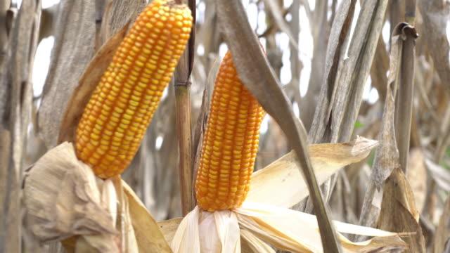 Corn stalks video