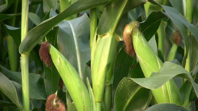 Corn. – Video